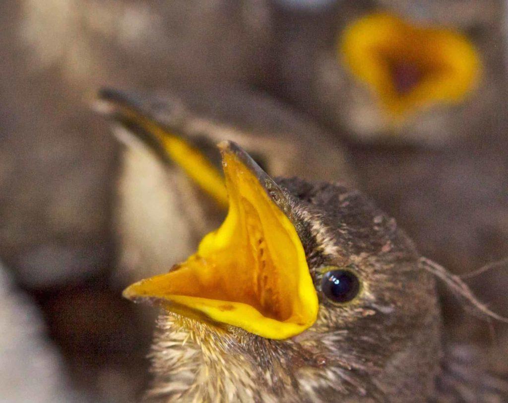fledging blackbirds