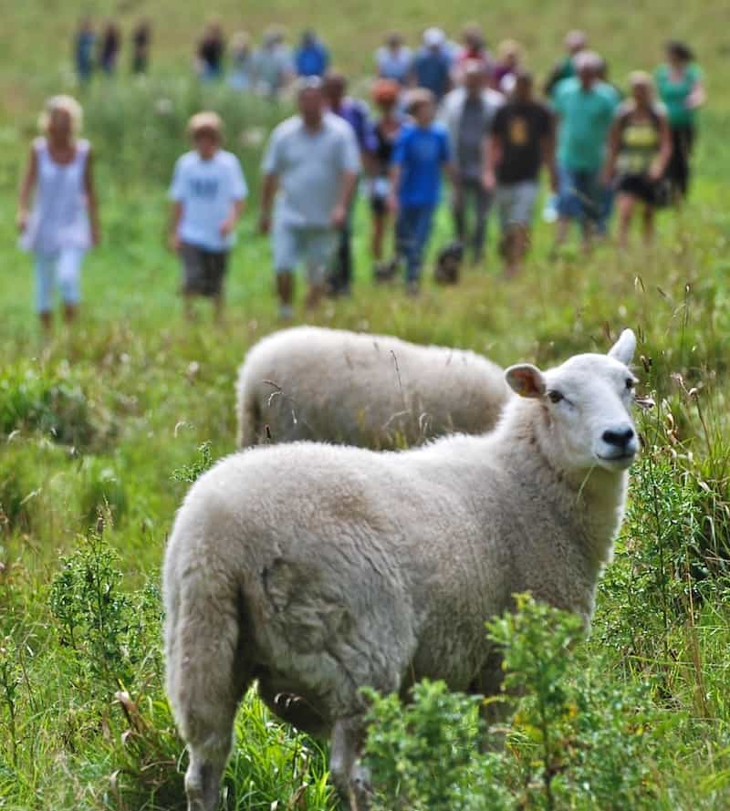 sheep in field with group of people walking in distance