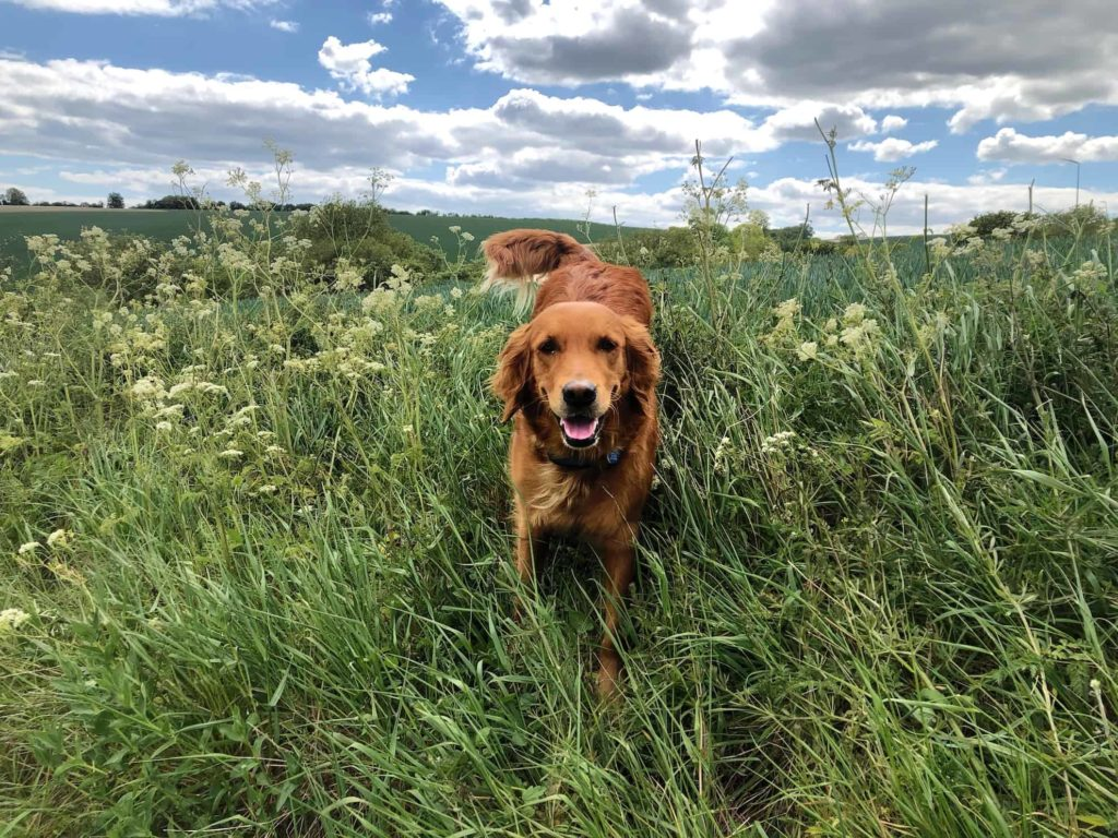 dog in long grass on a countryside walk