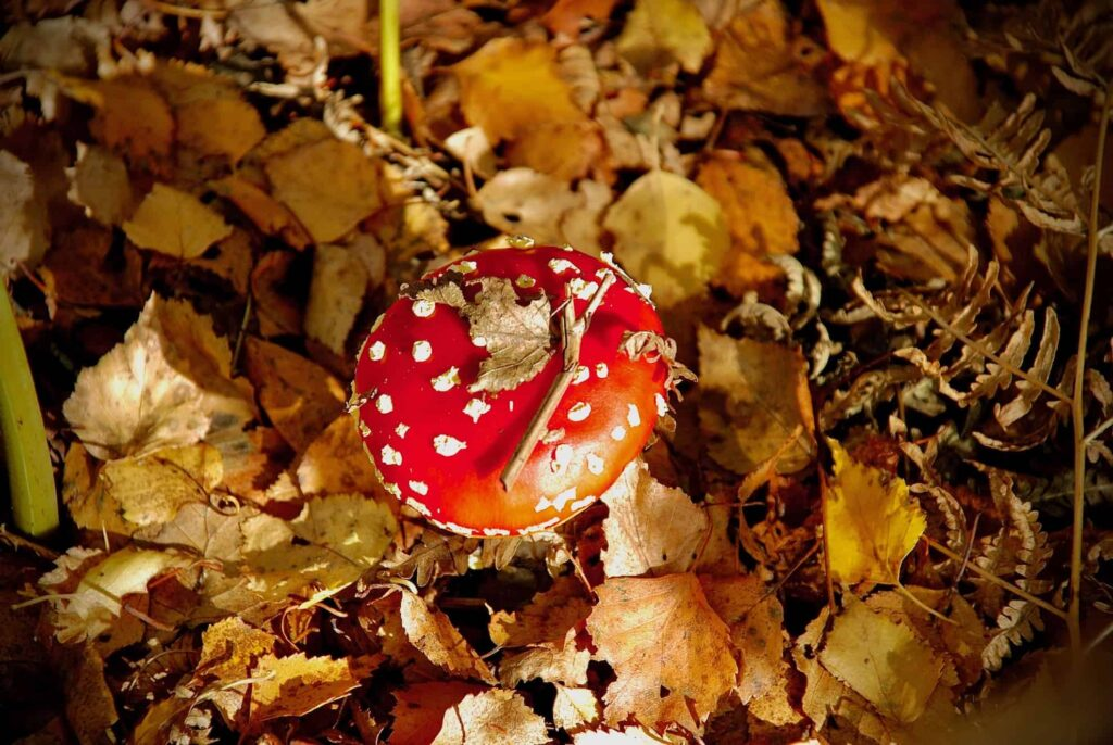 red mushroom on autumnal leaves forest floor